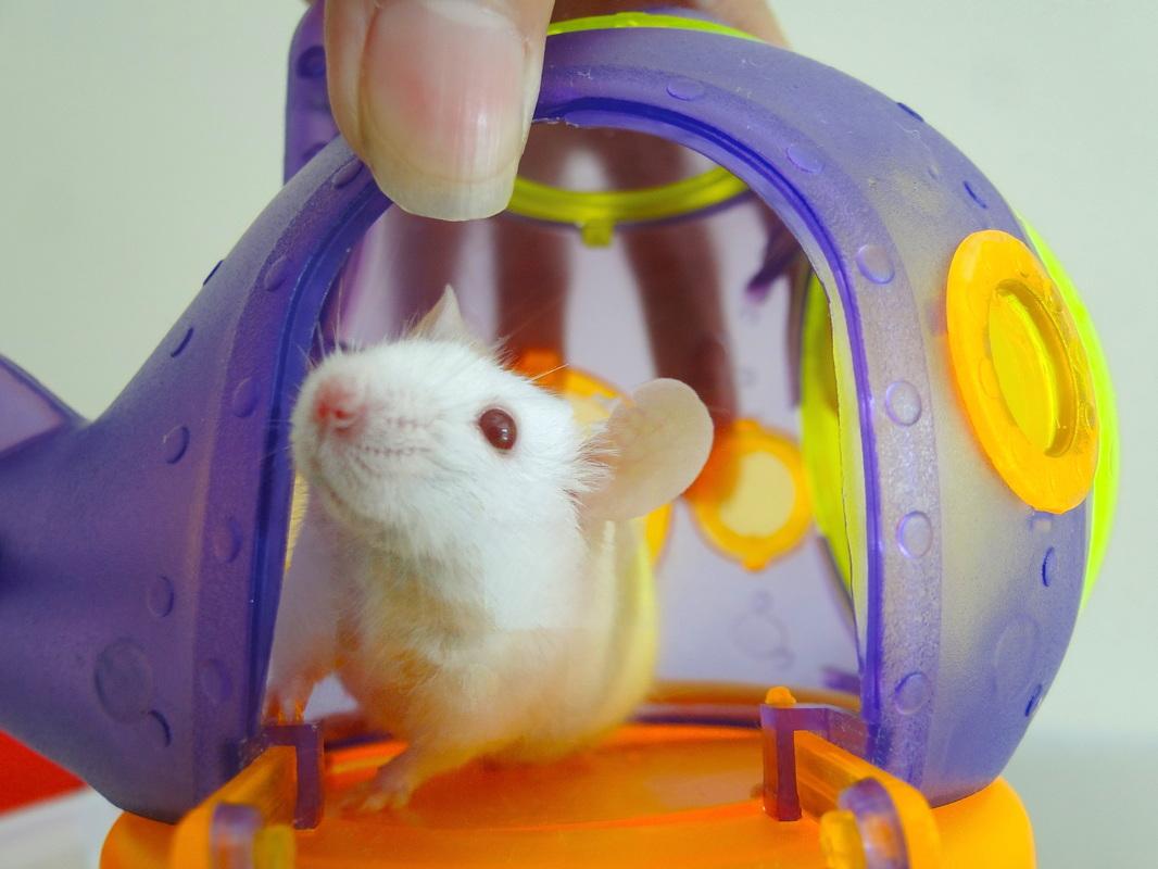 【鼠鼠知識】 鼠鼠不能吃的食物 飲食禁忌清單 - 格列佛的鼠人國日記
