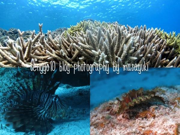 水納島|サンゴ|ハナミノカサゴ|ミアミラウミウシ