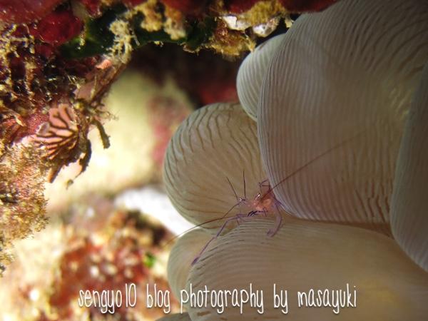 沖縄ダイビング|砂辺-バブルコーラルシュリンプ