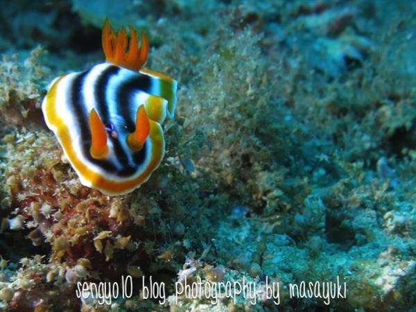 沖縄ダイビング|砂辺-シライトウミウシ