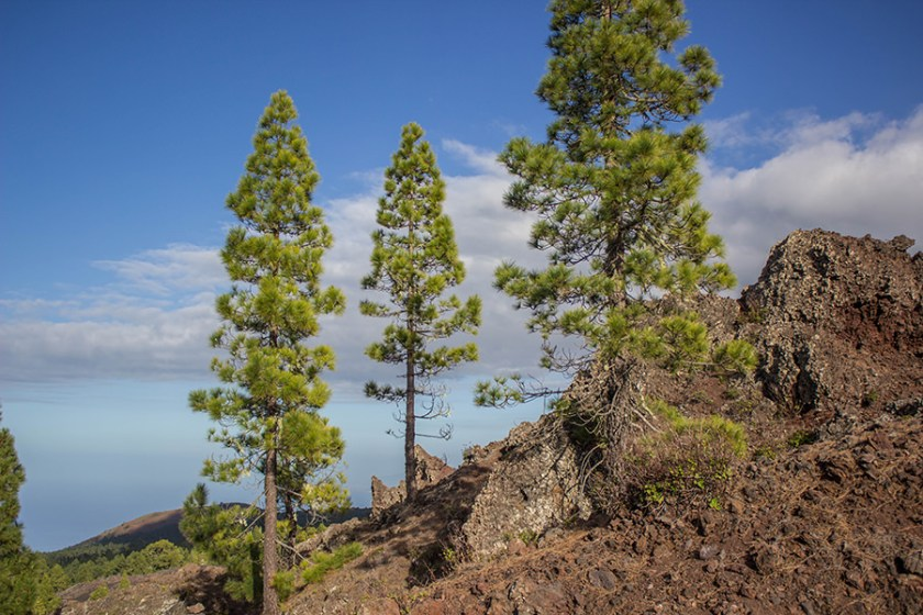 a-tasty-hike-wanderung-arenas-negras-teneriffa-baeume-in-rotem-gestein
