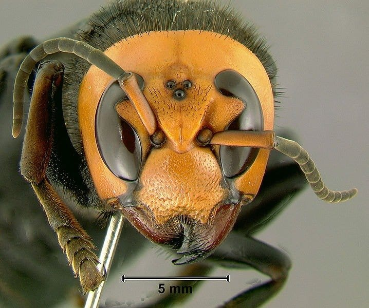 hornet anatomy diagram pioneer deh 2800mp wiring 2 asian giant vespa mandarinia animals a z