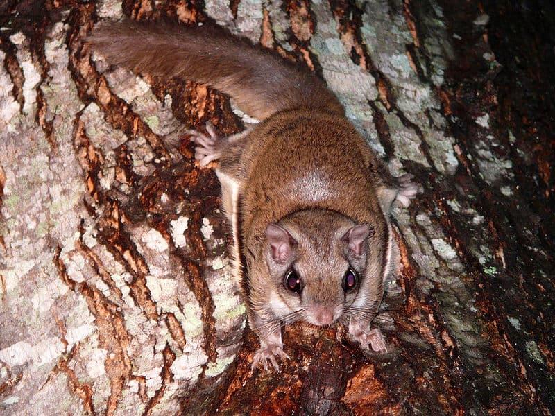 flying squirrel pteromyini animals