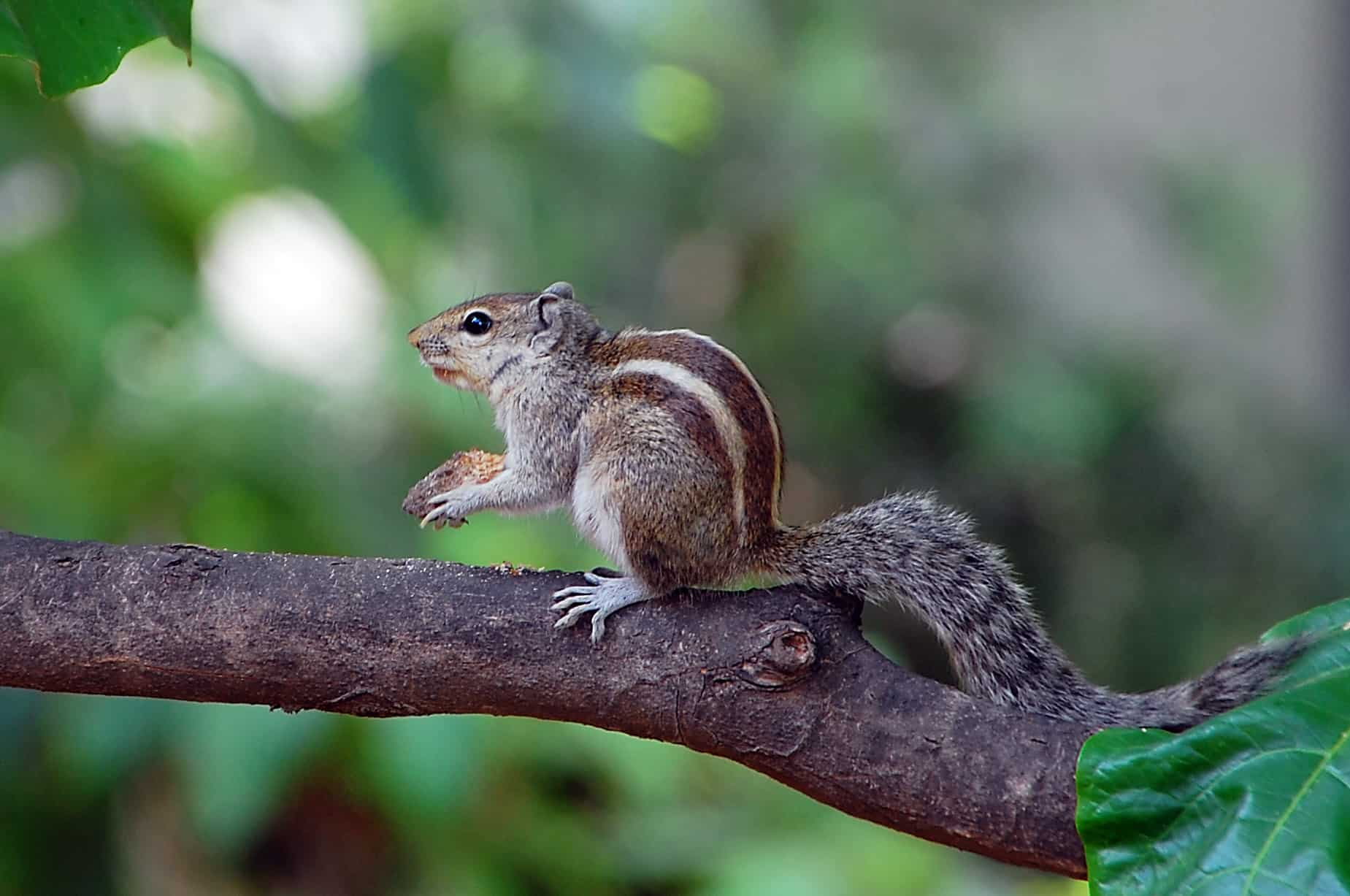 indian palm squirrel funambulus