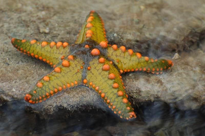 starfish protoreaster nodosus animals