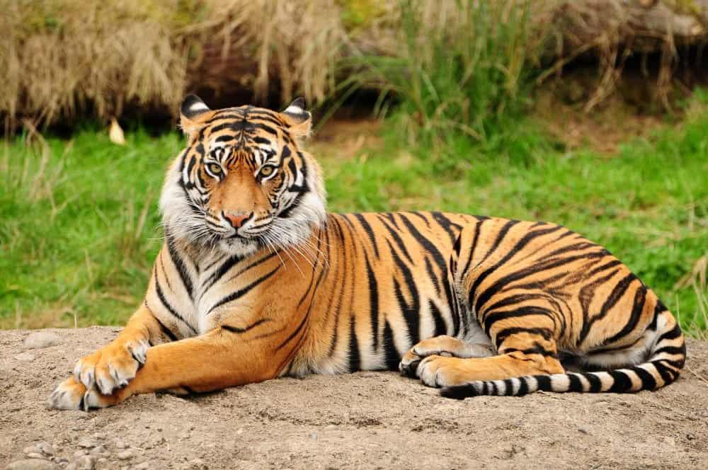 tiger laying hero background