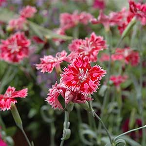 Dianthus - Strawberry