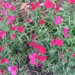 Dianthus - Zing Rose