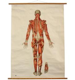 vintage anatomical pull down chart muscular system gh michel chart company for sale at 1stdibs [ 1090 x 1090 Pixel ]