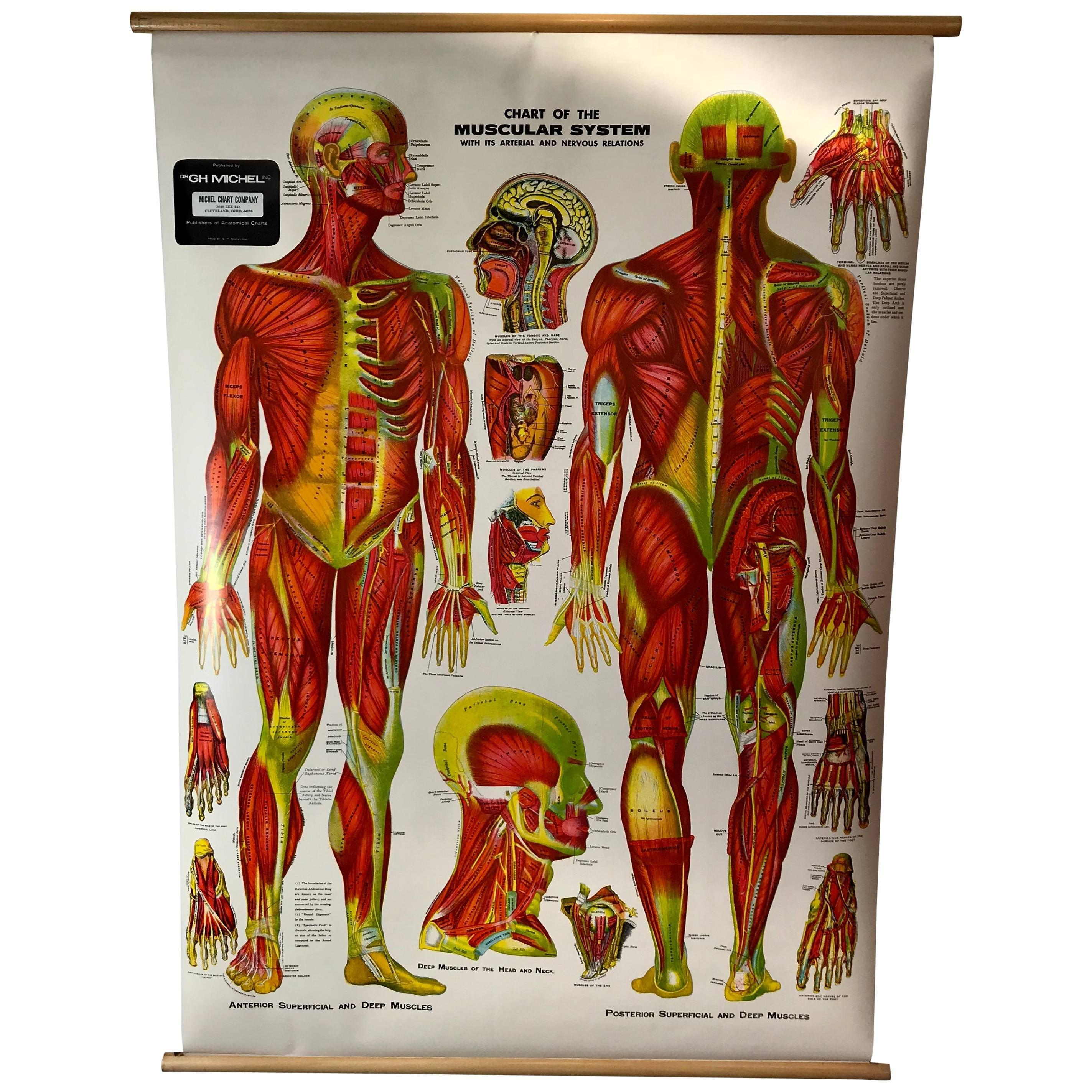 vintage anatomical pull down chart muscular system gh michel chart company for sale at 1stdibs [ 1500 x 1500 Pixel ]