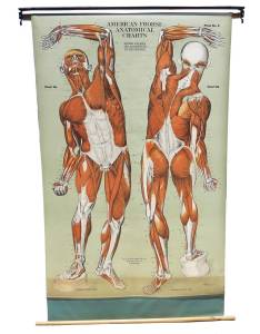 Vintage anatomical chart muscular structure of man for sale also at stdibs rh