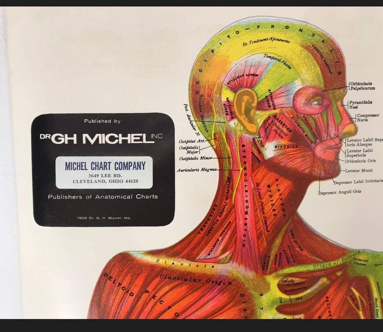 vintage anatomical pull down chart muscular system gh michel chart company for sale at 1stdibs [ 1500 x 1298 Pixel ]