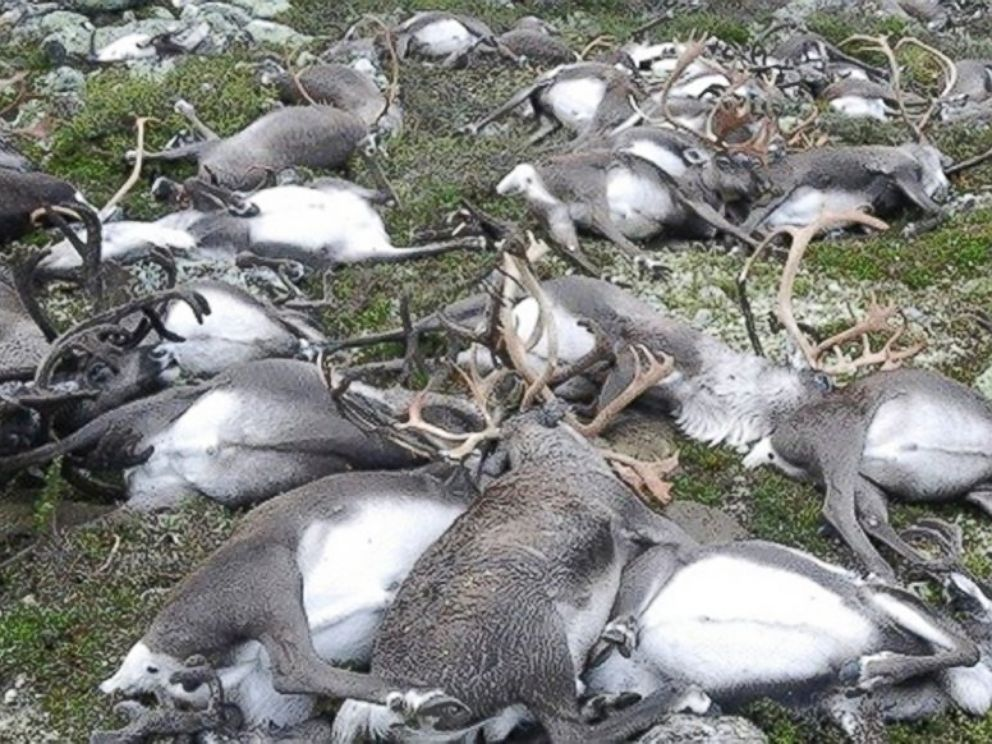 PHOTO: Some 323 dead wild reindeers struck by lightning are seen littering a hill side on Hardangervidda mountain plateau in central Norway, on August 27, 2016.