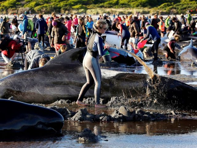 PHOTO: Volunteers attend to some of the hundreds of stranded pilot whales still alive after one of the countrys largest recorded mass whale strandings, in Golden Bay, at the top of New Zealands South Island, Feb.10, 2017.