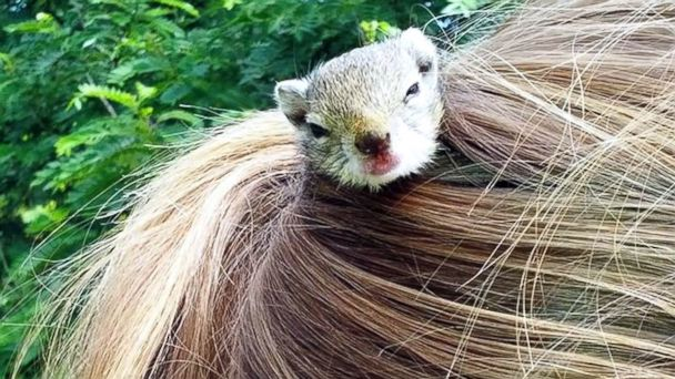 ht squirrel hair kab 140317 16x9 608 Abandoned Squirrel Lives in Girls Ponytail