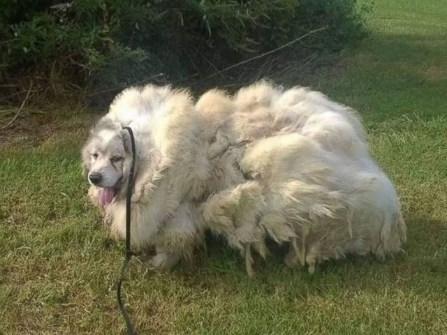 PHOTO: Lazarus, a 7-year-old male Great Pyrenees, was rescued by a dog groomer who shaved 35 pounds of fur off his body.