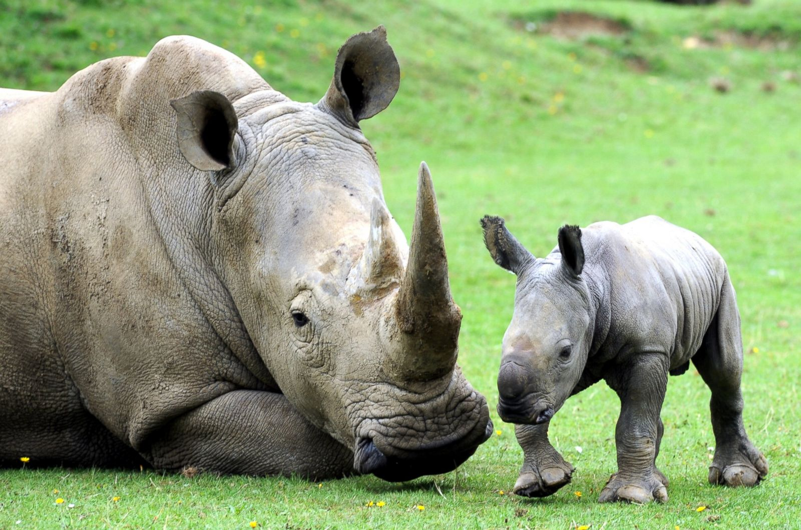 Baby White Rhino Plays With Mom Picture