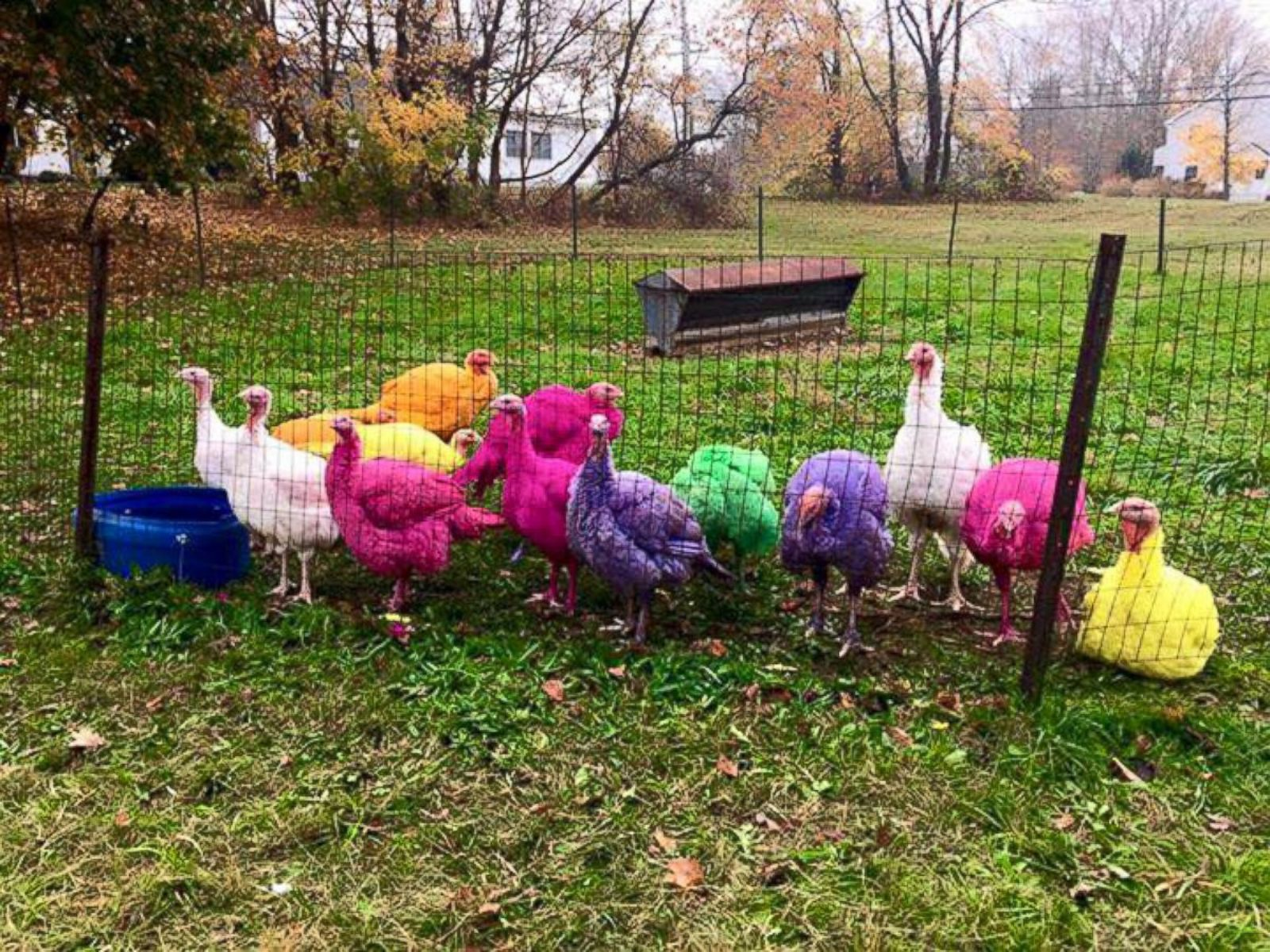 Image result for dyed turkeys ct