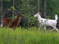 Dozens of rare white deer will be available for public ...