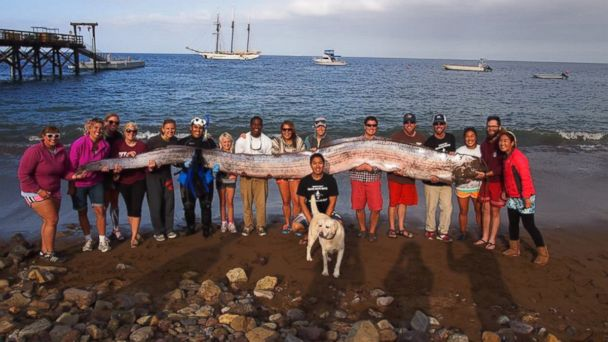 HT oarfish group nt 131015 16x9 608 Monster Oarfish Beachings Raise Earthquake Questions