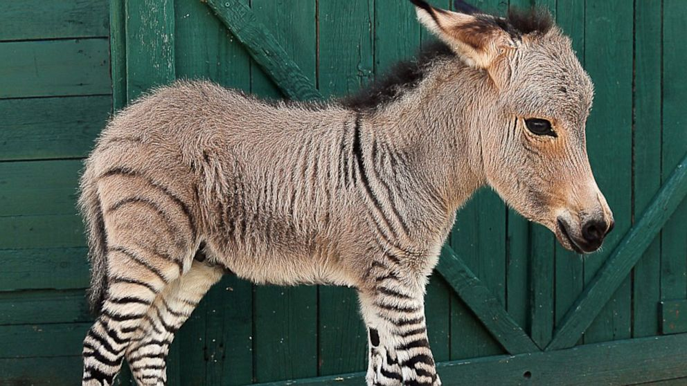 PHOTO: Ippo the zonkey, a zebra-donkey hybrid was born, July 2013 at a Florence reserve in Italy.