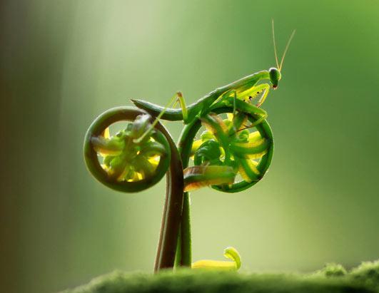 Pedaling Mantis