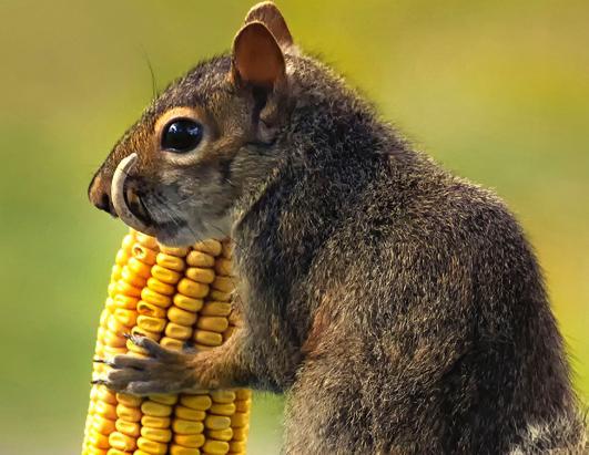 Sabertooth Squirrel?