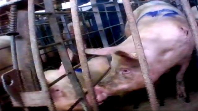 Largest Pig Farm America