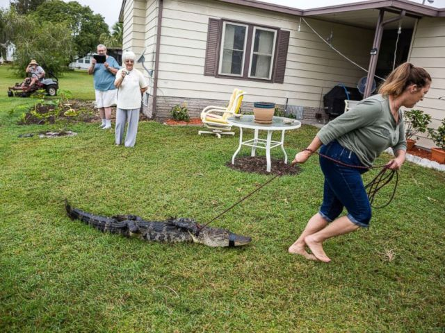 PHOTO: Julie Harter traps an alligator that was living in a community pond.