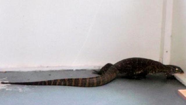 Monster Monitor Lizard Sightings in Florida  ABC News