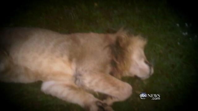 Zanesville Ohio Hunt for Escaped Exotic Animals Video