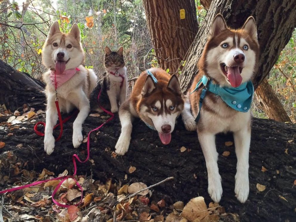 PHOTO: Rosie the cat is best friends with Lilo the Husky and his canine pals, according to their owners.