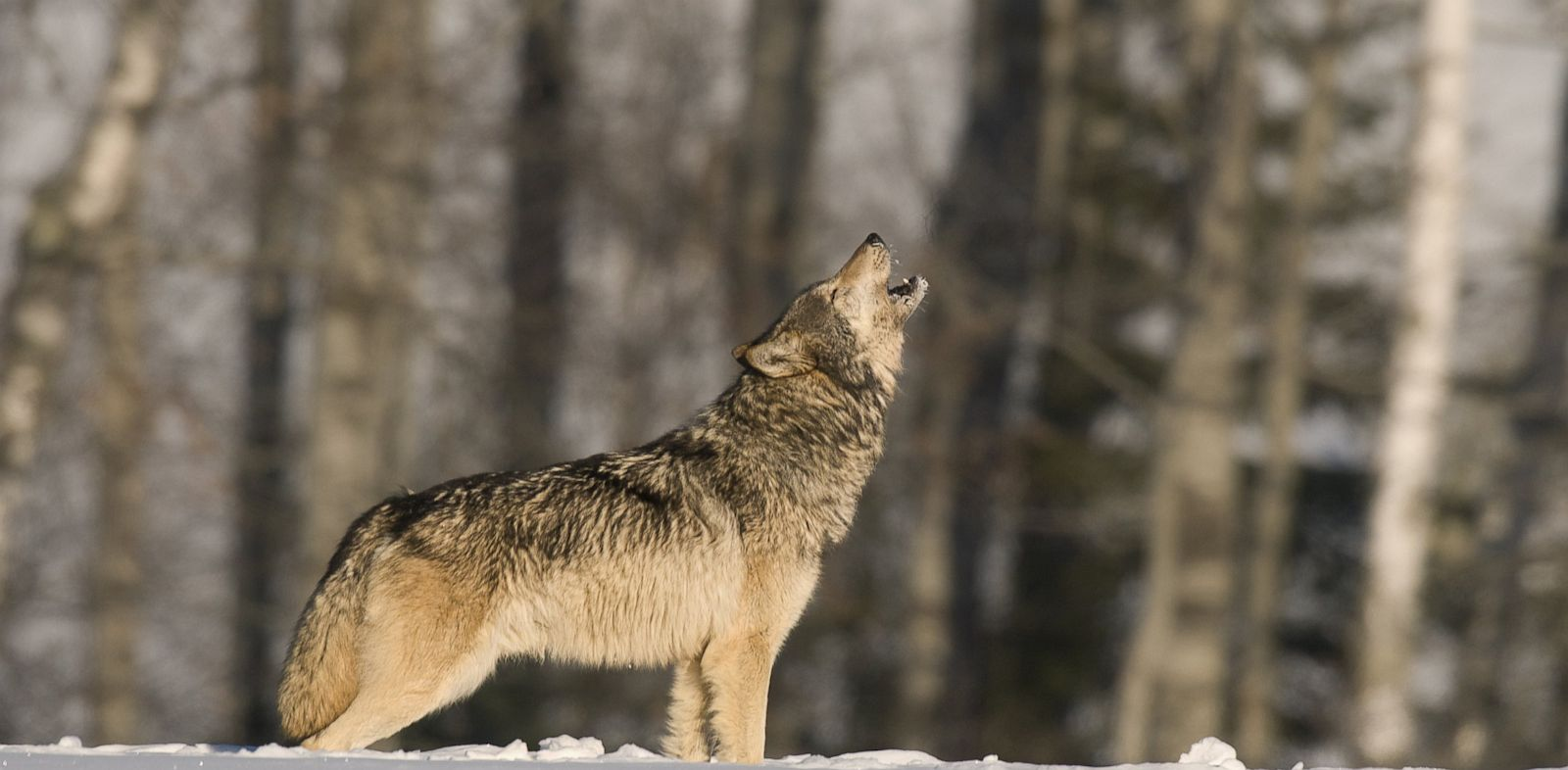 Mythical Creatures In The Fall Wallpaper Why Do Wolves Howl Love Scientists Say Abc News