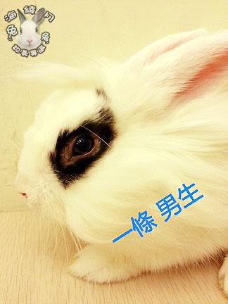 海棠兔 獅子兔 道奇兔