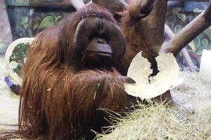 Eli the ape