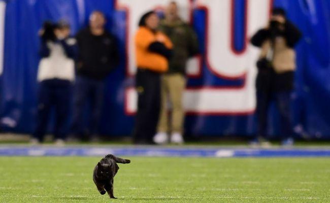 Feline Football Black Cat Runs Onto Field At Metlife