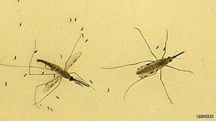 Mosquitos transmisores de la malaria