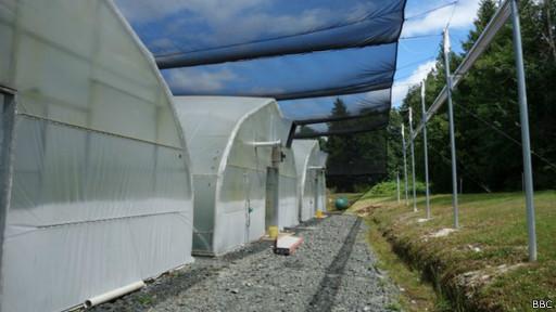 invernaderos cultivo wasabi