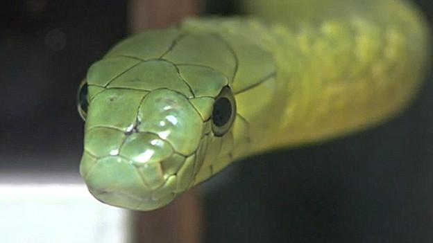 Mamba verde, una de las serpientes venenosas más peligrosas del mundo