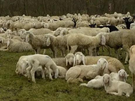 Lupo storie di pascolo vagante pagina 8 - La pagina della colorazione delle pecore smarrite ...