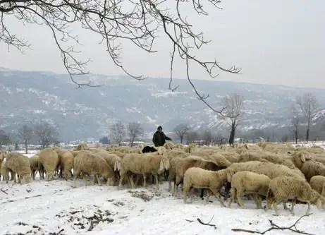 Storie di pascolo vagante storie di pastorizia nomade - La pagina della colorazione delle pecore smarrite ...