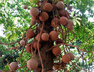 canon ball tree fruit: large hard shelled fruit of the cannonball tree