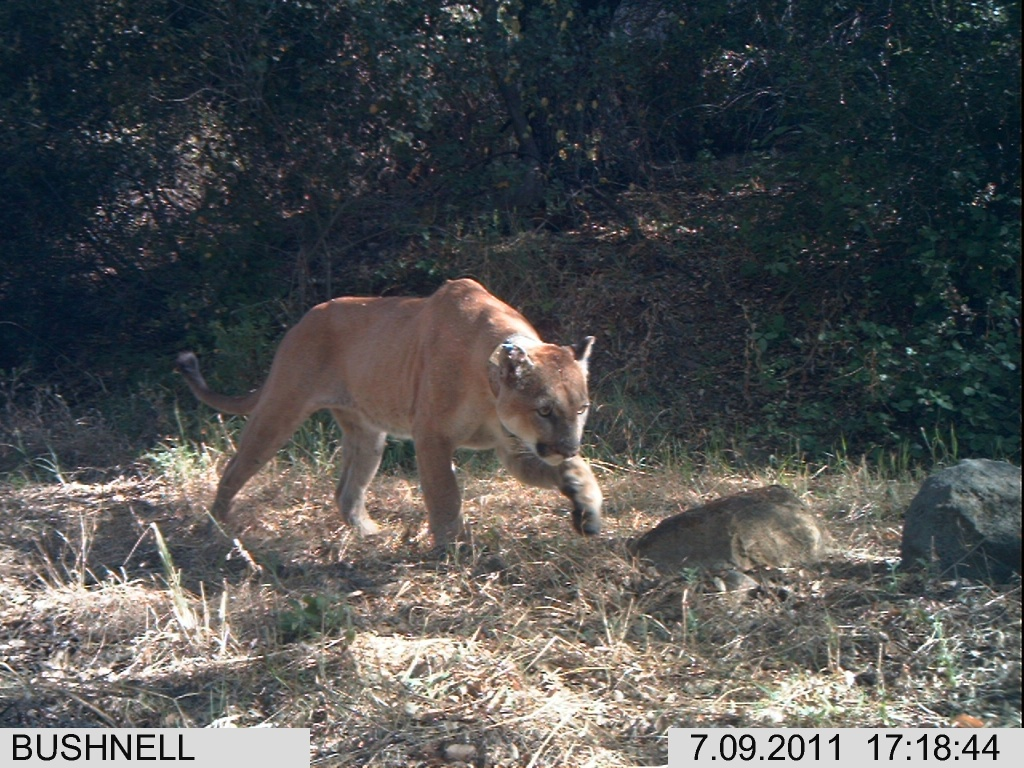 Take Two  Mountain lion death reignites call for