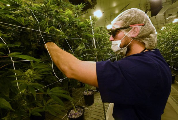 David Burr removes leaves on marijuana plants to allow more light for growth at Essence Vegas' 54,000-square-foot marijuana cultivation facility in Las Vegas, Nevada. On July 1, 2017, Nevada joined seven other states allowing recreational marijuana use.