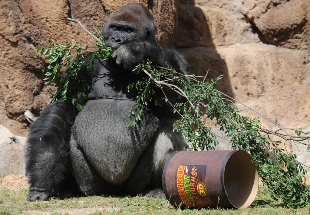 LA Zoo makes way for Nintendo  gorillas share their space