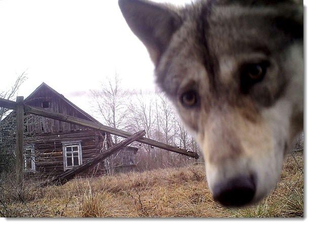 wolf_Chernobyl