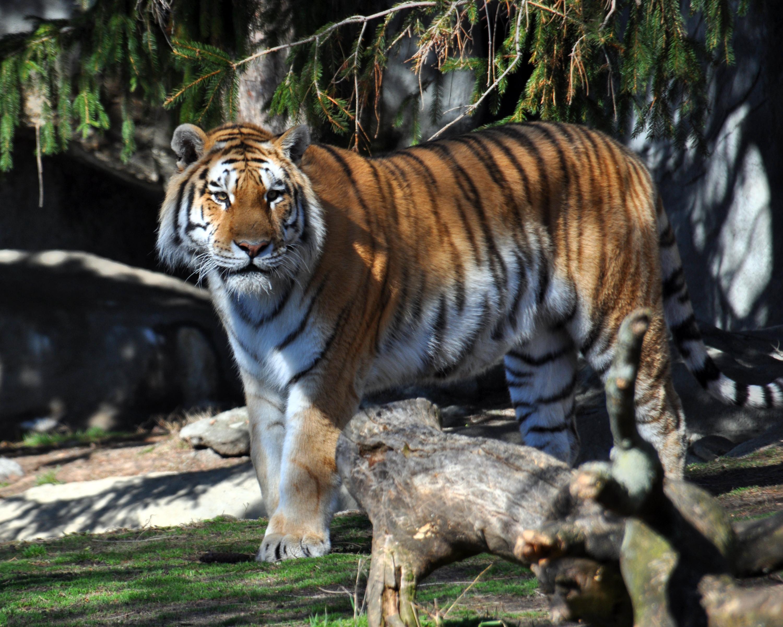 tigerzooapril