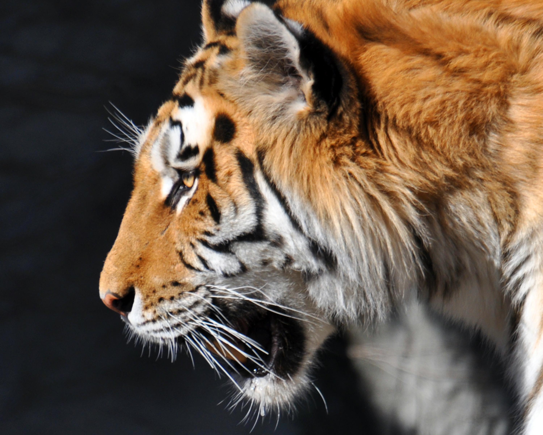 tigerzooapril2