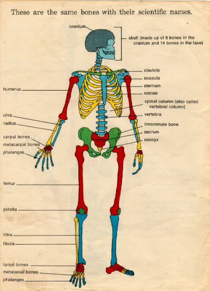 kids skeletal system diagram chrysler electronic ignition wiring anatomy for | a2z homeschooling