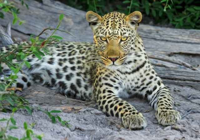 white yellow and black spotted leopard on gray stone during daytime near green leaves